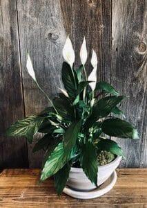 Plante Lys de paix